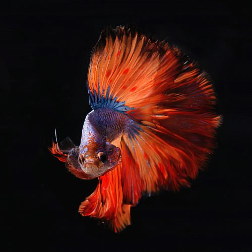 photo red and silver fighting fish free for commercial use images