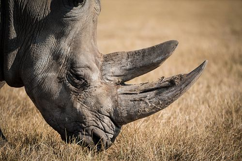 rhinoceros eating grass