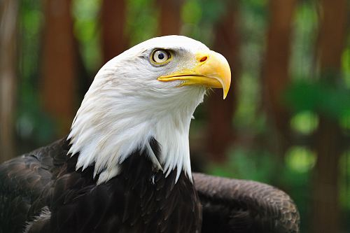photo shallow focus photography of bald eagle free for commercial use images