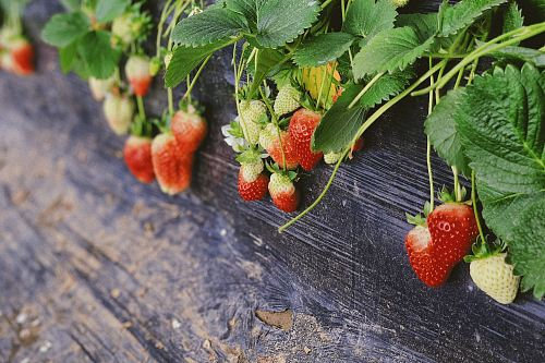 free for commercial use strawberries plant in pot images