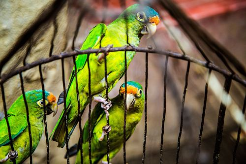 photo three green parakeets inside on black cage free for commercial use images