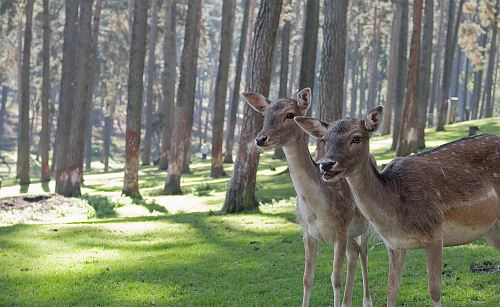 photo two brown deers in woods free for commercial use images