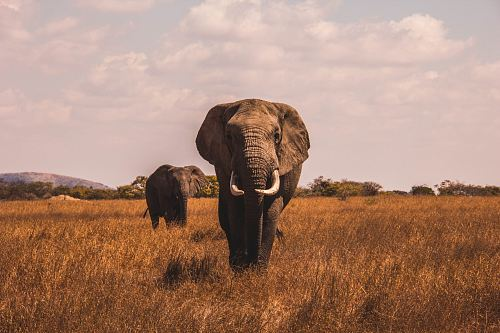 free for commercial use two elephants walking on grass covered ground images