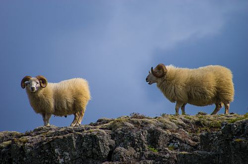 two mountain goats