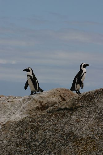 photo two penguins standing on rock free for commercial use images