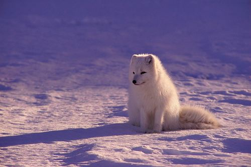 photo white fox sitting on snow during daytime free for commercial use images
