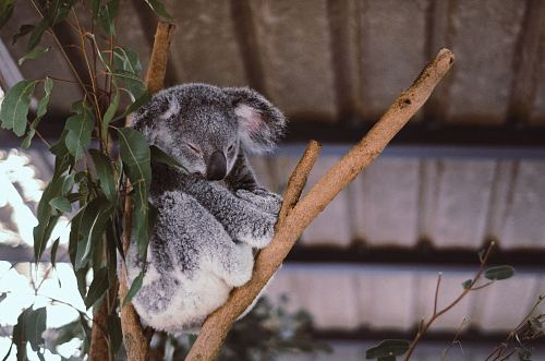 wildlife photography of koala on tree