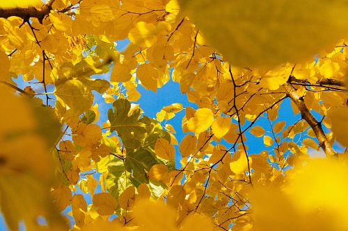 photo yellow leafed tree during daytime free for commercial use images