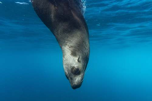 photo sea lion seal underwater mammal free for commercial use images