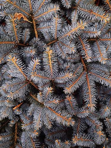 winter fill the frame photograph of grey pine tree leaves nature