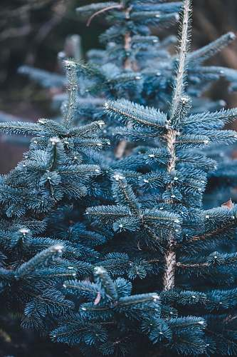 frost shallow focus photography of blue pine tree ice