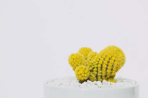 photo yellow cactus in white pot cactus free for commercial use images