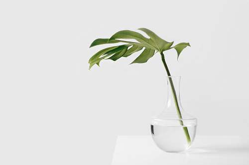 green Cheese plant leaf in clear glass vase vase