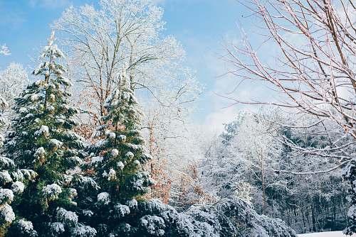 snow green pine trees during snow season ice