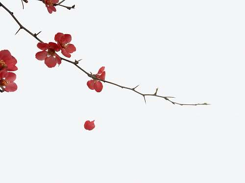 blossom red flowers cherry