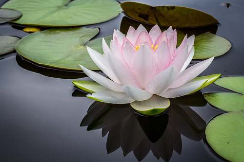 nature rule of thirds photography of pink and white lotus flower floating on body of water plant
