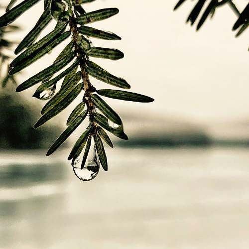 conifer shallow focus of green leaves with water droplets flora