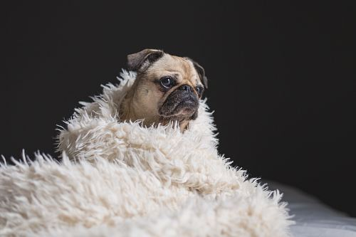 free for commercial use adult fawn pug covered with white fur cover images