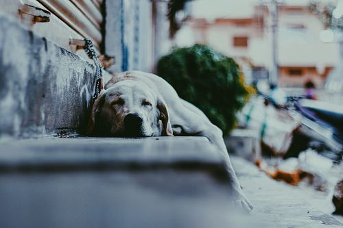 photo adult yellow Labrador retriever dog sleeping on gray concrete stepway free for commercial use images