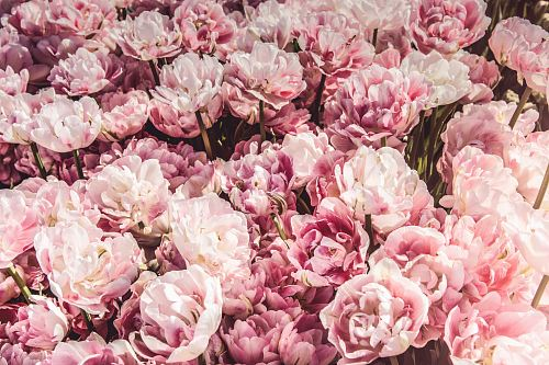 photo bed on pink peony flowers free for commercial use images