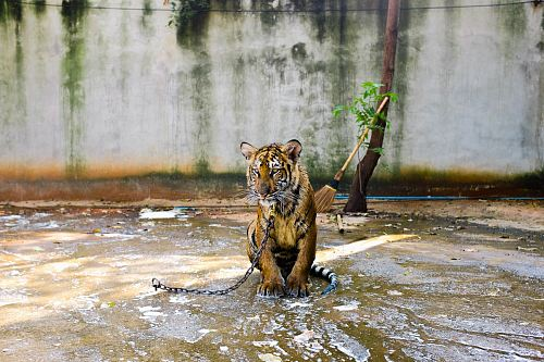 photo Bengal tiger inside area with water free for commercial use images