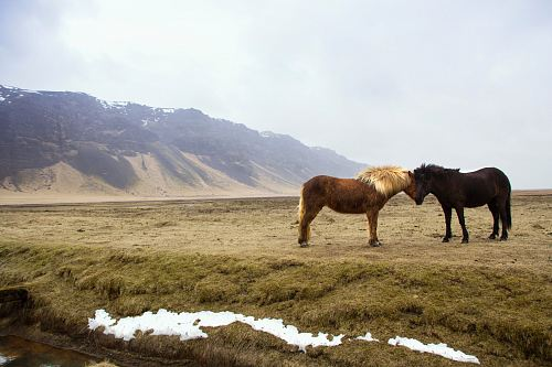 photo black and brown horses standing on green grass field across mountain free for commercial use images