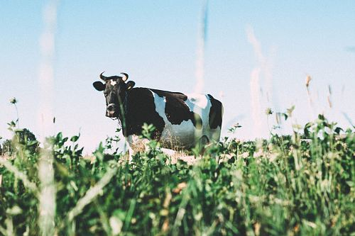 photo black and white dairy cow on green grasses during daytime free for commercial use images