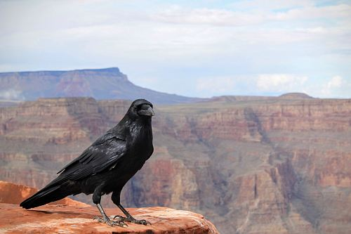black crow on top of Grand Canyon, Arizona