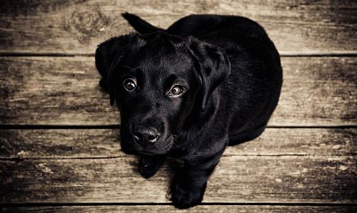 photo black puppy free for commercial use images