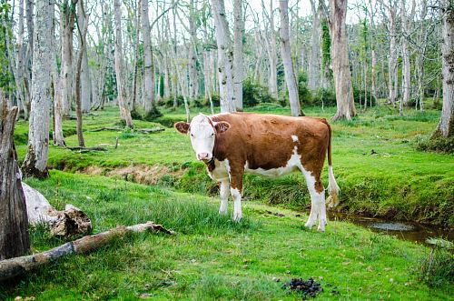 brown and white cattle in forest