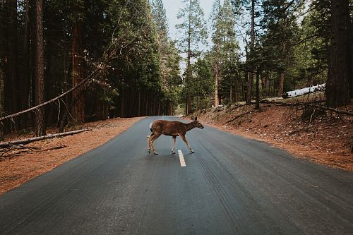 photo brown deer crossing in road during daytime free for commercial use images