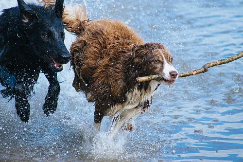 brown dog with stick running together with black dog on water