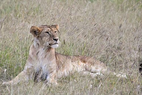 brown lioness lying on green grass