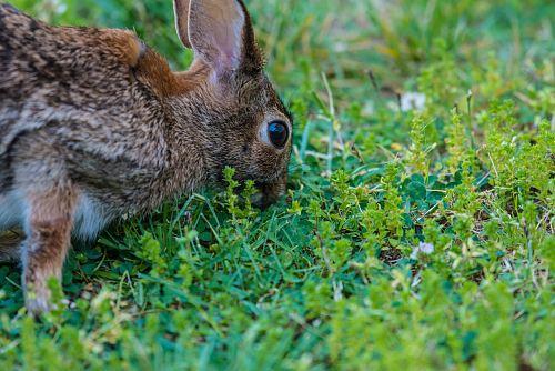 brown rabbit eating green grass at daytime
