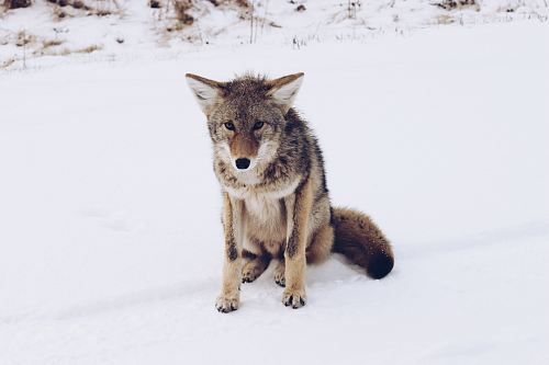 brown wolf sitting on snow