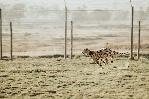 cheetah running on brown field