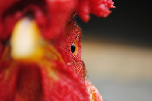Closeup of an angry rooster's face