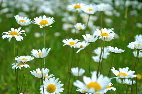 photo common daisy flowers on grass field free for commercial use images