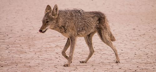 photo coyote walking on desert during daytime free for commercial use images