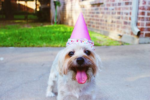 free for commercial use dog wearing party hat images