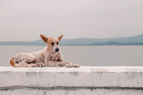 photo fawn dog lying on concrete platform beside body of water free for commercial use images
