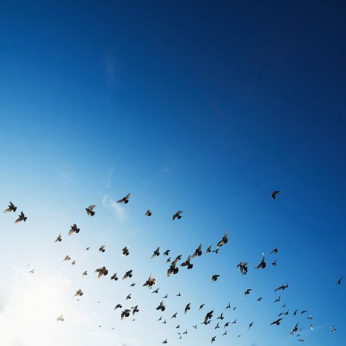 photo flock of bird flying in sky free for commercial use images