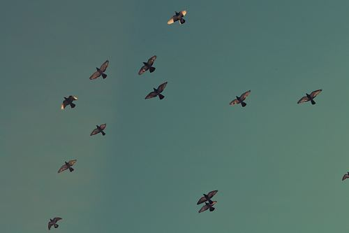photo flock of brown birds flying on blue sky free for commercial use images
