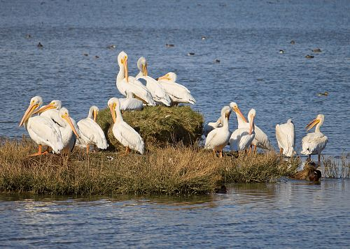 flock of pelican on grass at daytime