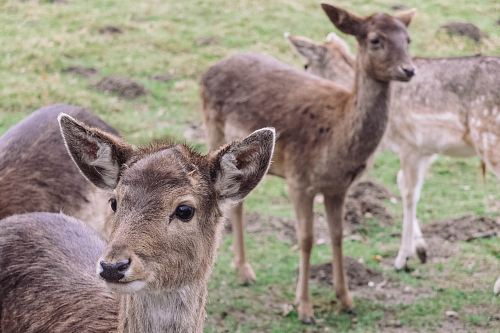 photo four brown deers during daytime free for commercial use images