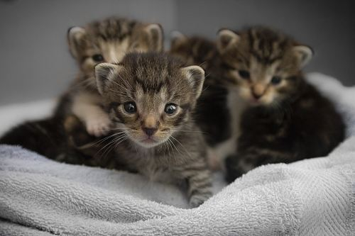 free for commercial use four brown tabby kittens images