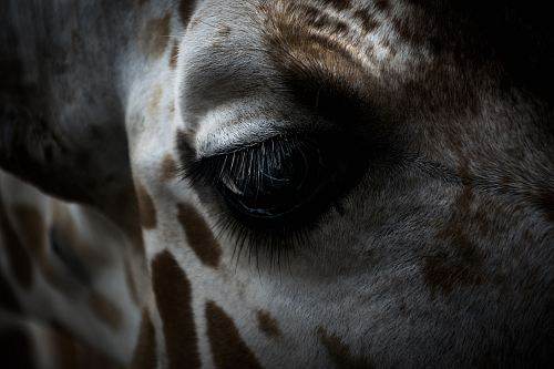 photo giraffe's eye free for commercial use images