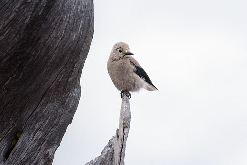 photo gray bird standing on edge of drift wood free for commercial use images