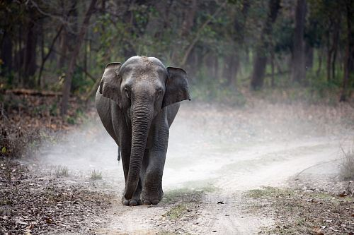 free for commercial use gray elephant cub walking alone on pathway creating dust images