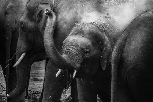 photo grayscale photo of elephants free for commercial use images